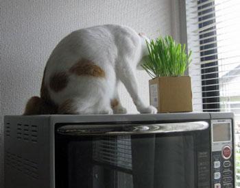 猫草食べポイント1220