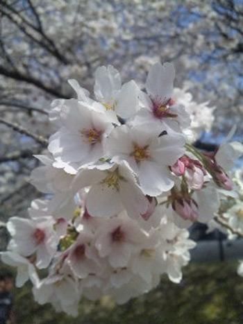 広島県府中市の桜