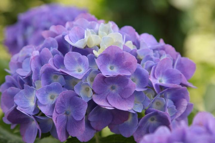 紫陽花20110604-03