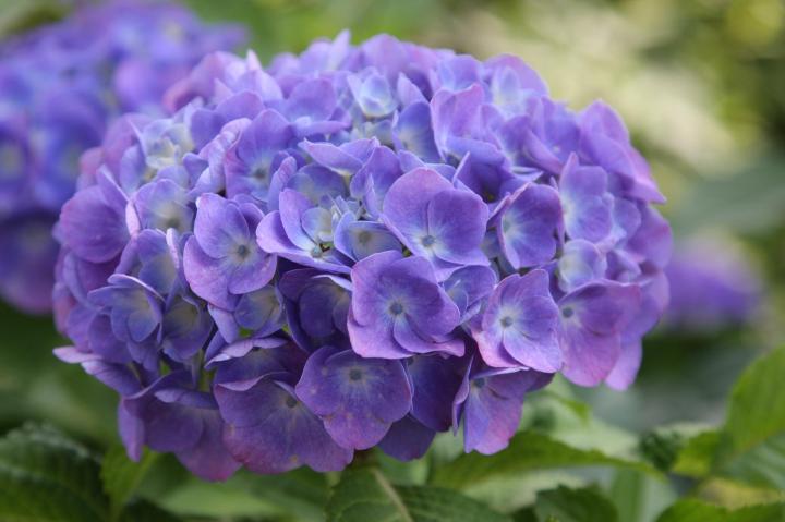 紫陽花20110604-02