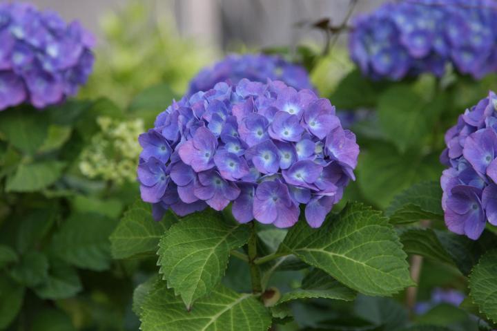 紫陽花20110604-01
