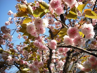 画像 049八重桜1