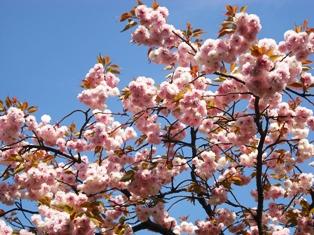 画像 051やえ桜2