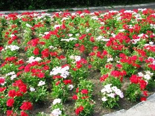 画像 221赤い花