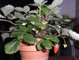 Wild Strawberry 2 up