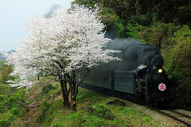 ooigawasakura