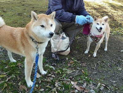 柴犬メグちゃん