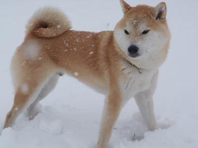 雪の中のあきの