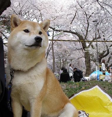 桜はきれいじゃの~