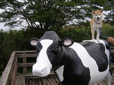 牛の上のあきの