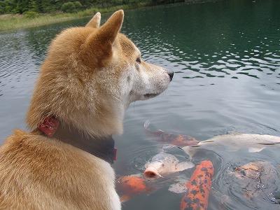 あきのと鯉
