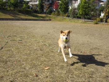 ボール遊び。コロ助走る。