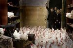 Vikaren_chickens.jpg