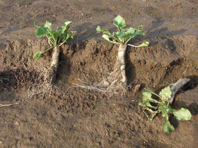 土砂が流失して根までむき出しのビート