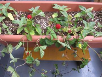 himawari-berry.jpg
