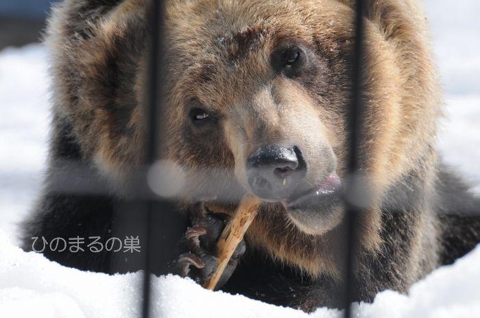 ezohigumatowa20110401b.jpg