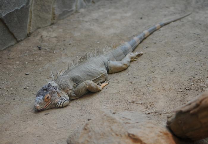 greenIguana_20100208153543.jpg