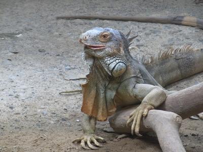 iguana28042010.jpg