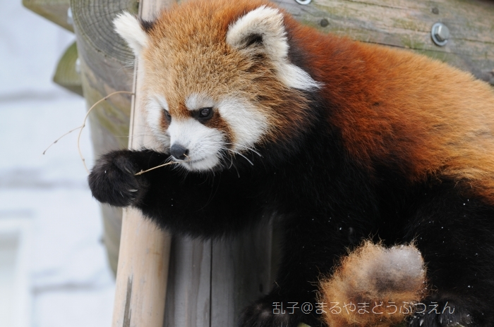 rankomaruyamazoo2011march11.jpg