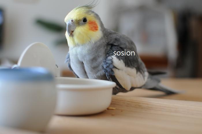 sosioncockatiel20110414b.jpg