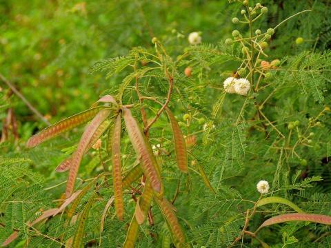 ギンネムの花と実