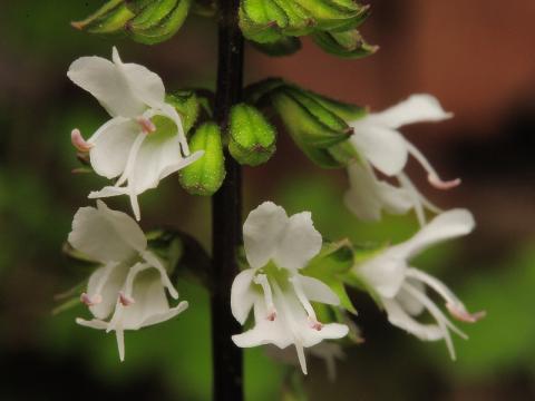 ヒメタムラソウの花