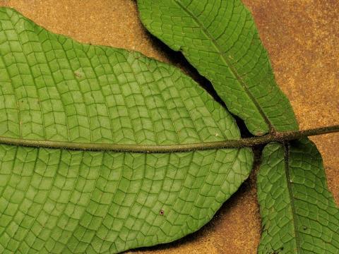 コウモリシダの葉の裏