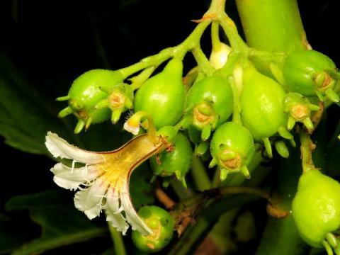 クサトベラの若い果実