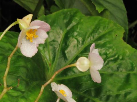 マルヤマシュウカイドウの花