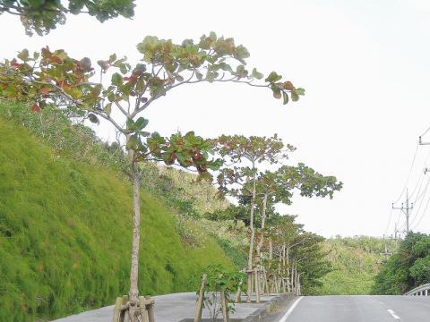 モモタマナの並木