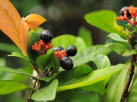 サンタンカの果実