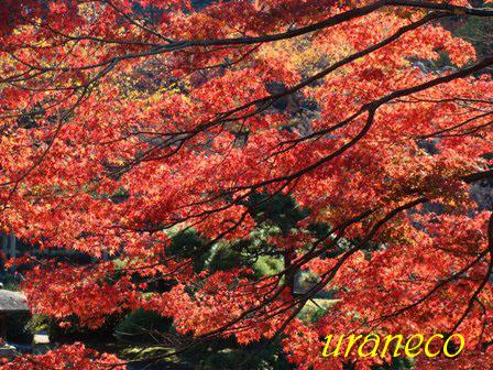 12月10日東御苑池の畔の紅葉逆光のコピー