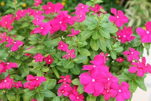 しあわせ色の花