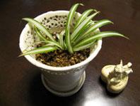 オリヅルラン 白い鉢
