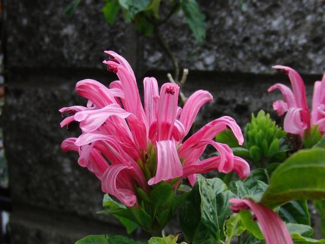 珊瑚花:クリックして大きな画像で御覧下さい
