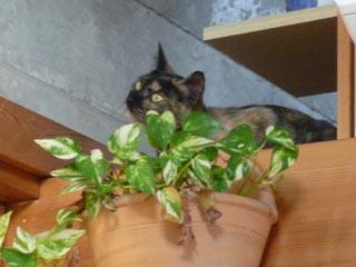 猫台を見る蘭