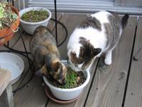 テラスで猫草