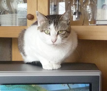 猫はテレビの上が好き