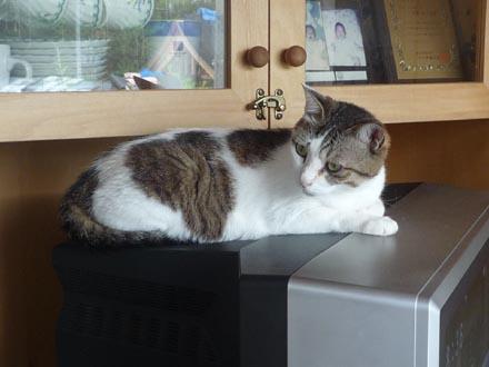 猫はテレビの上が好き②