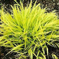 黄金フウチ草