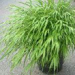 緑葉フウチ草