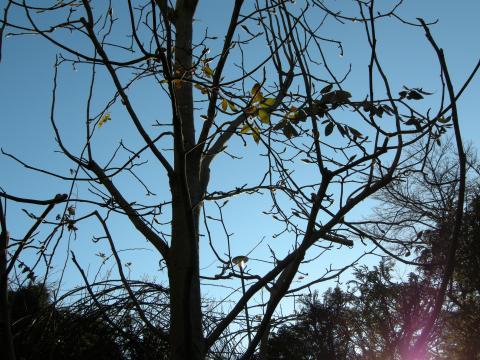 コブシの木に絡むノイバラ 2009/1/15