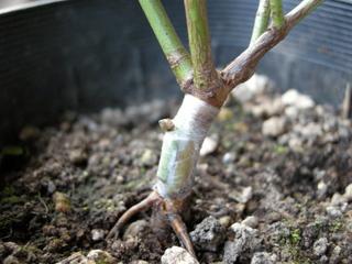クレアローズの芽接ぎ1