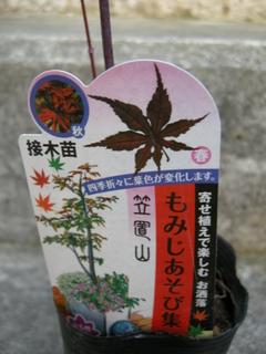 カエデ「笠置山」2