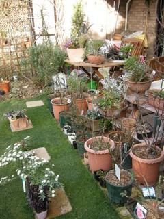 バラ鉢置き場兼ボーダー花壇
