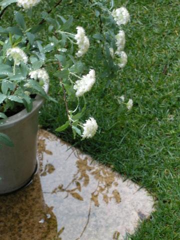 冷たい雨とコデマリ