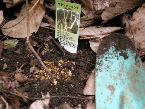 サラシナショウマの植え付け