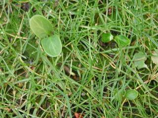 芝の中のクリスマスローズの発芽