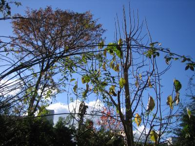 コブシの葉が散りました...
