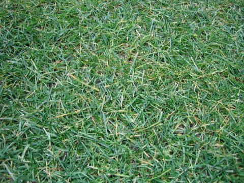 芝の冬枯れ